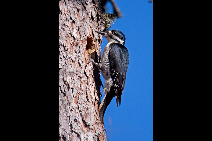 Birds of the Adirondacks: Black-backed Woodpecker. Bloomingdale, NY.  Photo by Larry Master. www.masterimages.org