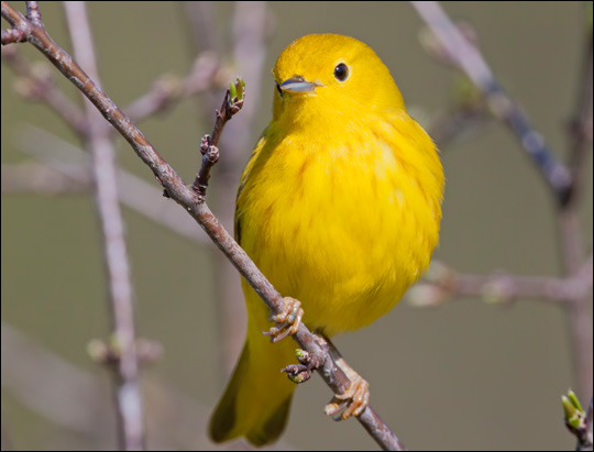Birds of the Adirondacks: Yellow Warbler. Photo by Larry Master. www.masterimages.org