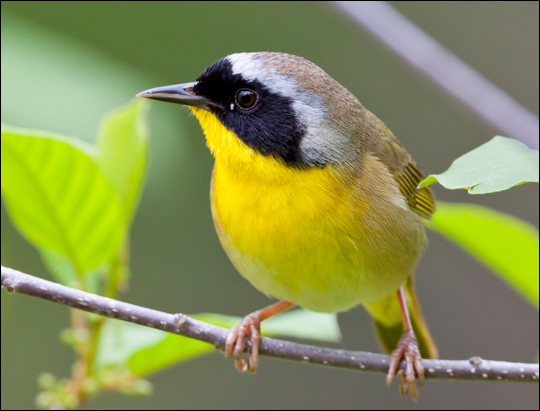 Birds of the Adirondacks: Common Yellowthroat. Photo by Larry Master. www.masterimages.org