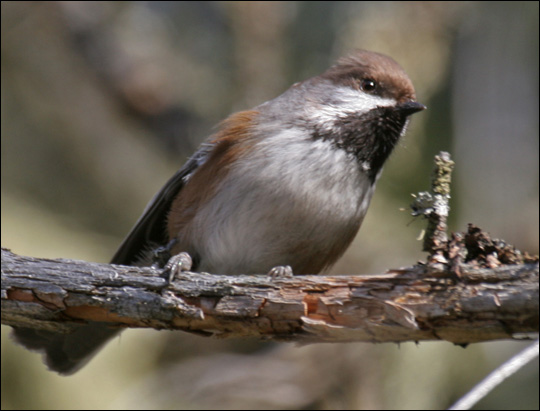 Birds of the Adirondacks: Boreal Chickadee. Photo by Larry Master. www.masterimages.org