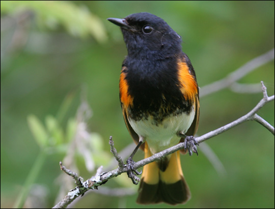 Birds of the Adirondacks: American Redstart. Photo by Larry Master. www.masterimages.org