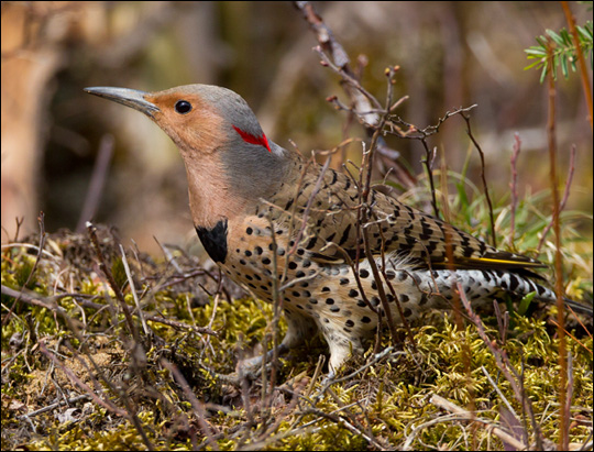 Birds of the Adirondacks: Northern Flicker. Photo by Larry Master. www.masterimages.org