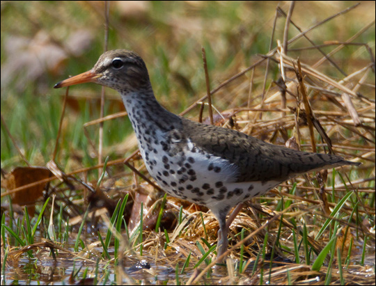 Birds of the Adirondacks: Spotted Sandpiper.  Photo by Larry Master. www.masterimages.org