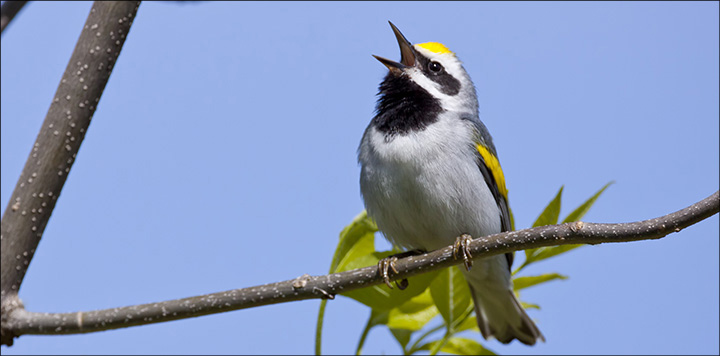 Birds of the Adirondacks: Golden-winged Warbler. Photo by Larry Master. www.masterimages.org