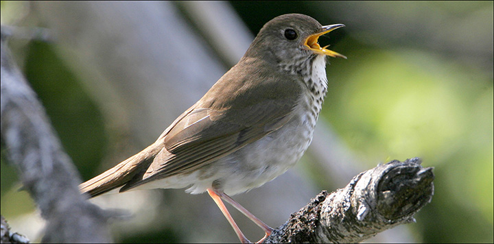 Boreal Birds of the Adirondacks: Bicknell's Thrush. Photo by Larry Master. www.masterimages.org