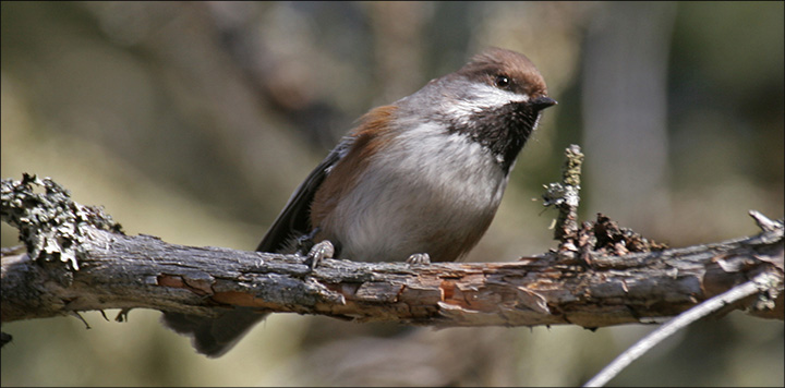 Boreal Birds of the Adirondacks: Boreal Chickadee. Photo by Larry Master. www.masterimages.org