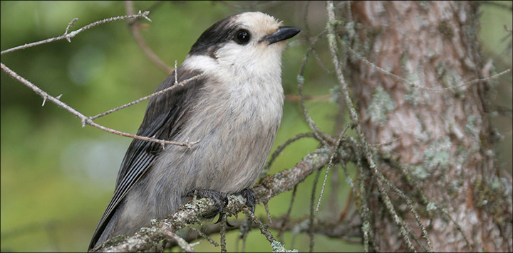 Boreal Birds of the Adirondacks: Gray Jay. Photo by Larry Master. www.masterimages.org