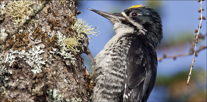 Boreal Birds of the Adirondacks: Black-backed Woodpecker. Photo by Larry Master. www.masterimages.org