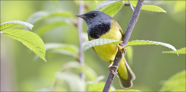 Boreal Birds of the Adirondacks: Mourning Warbler. Photo by Larry Master. www.masterimages.org
