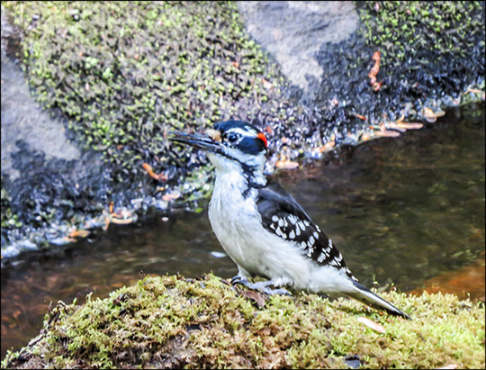 Birds of the Adirondacks:  Hairy Woodpecker near Barnum Brook at the Paul Smiths VIC (6 June 2015)