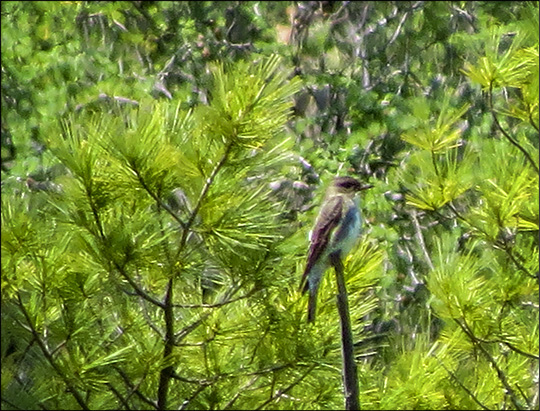 Birds of the Adirondacks: Olive-sided Flycatcher on the Loggers Loop Trail at the Paul Smiths VIC (6 June 2015)