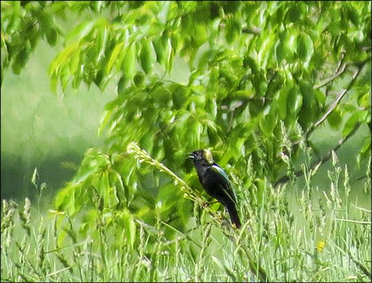 Birds of the Adirondacks:  Bobolink at Heaven Hill Farm (7 June 2015)