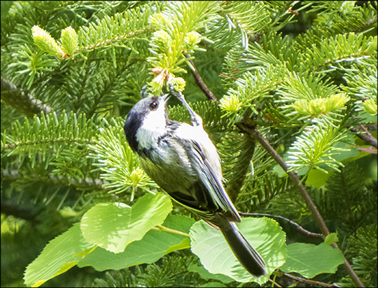 Birds of the Adirondacks: Black-capped Chickadee at John Brown Farm (7 June 2015)
