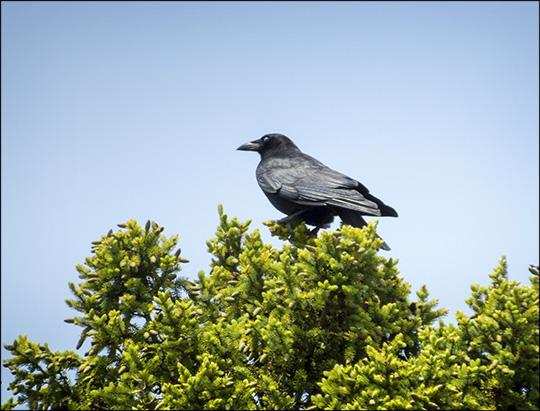 Birds of the Adirondacks: Common Raven at John Brown Farm (7 June 2015)