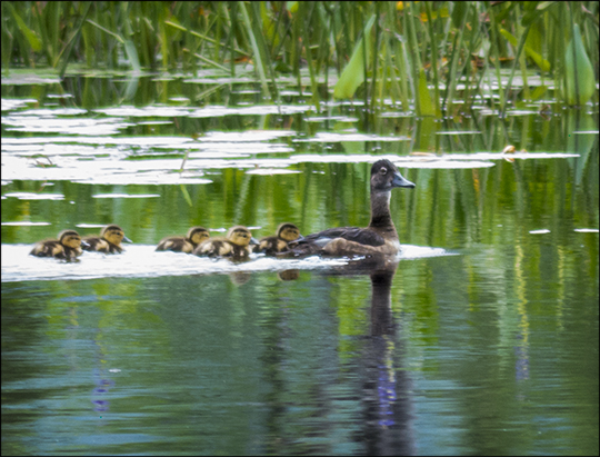 Birds of the Adirondacks:  Ring-necked Duck family on Heron Marsh (20 July 2013)