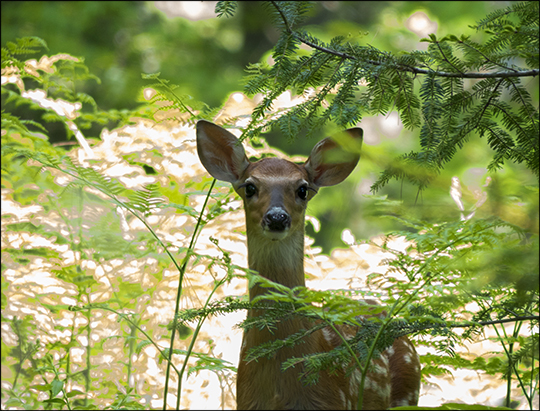 Adirondack Mammals: White-tailed Deer on the Heron Marsh Trail (18 June 2013)