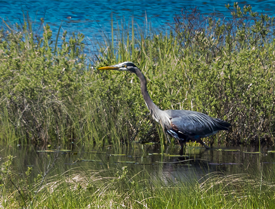 Birds of the Adirondacks:  Great Blue Heron on Heron Marsh (27 May 2013)