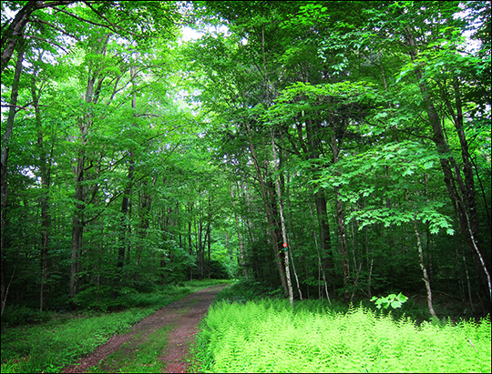 Adirondack Habitats: Deciduous forest along Logger's Loop (7 June 2012)