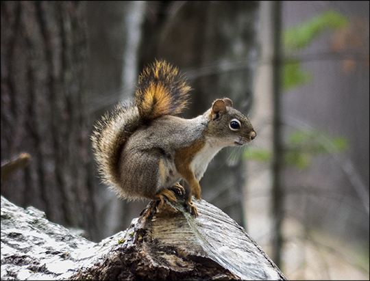 Adirondack Mammals: Red Squirrel on Logger's Loop (14 May 2013)