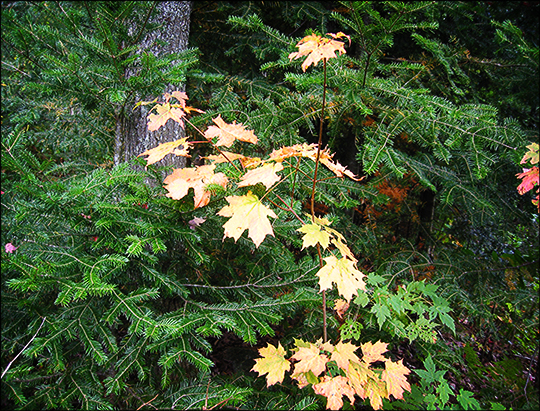 Fall foliage on the Lond Pond Trail (20 September 2004)