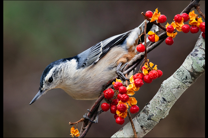 John DiGiacomo:  Nuthatch W/Berries