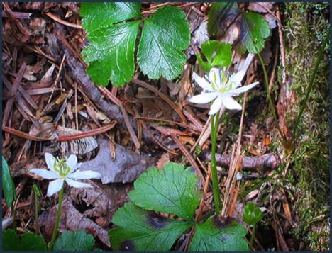 Adirondack Wildflowers:  Goldthread along the Silviculture Trail at the Paul Smiths VIC