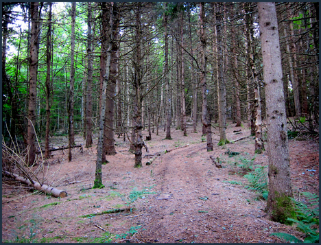 Adirondack Forest Communities:  Pine plantation along the Silviculture Trail at the Paul Smiths VIC