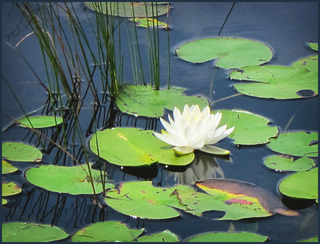 Adirondack Wildflowers:  White Water Lily on Heron Marsh at the Paul Smiths VIC