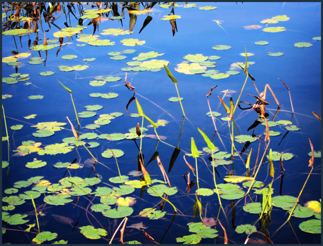 Adirondack Wildflowers:  Lily pads on Heron Marsh at the Paul Smiths VIC