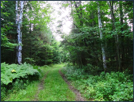 Trees of the Adirondacks:  Paper Birch Trees along the Silviculture Trail at the Paul Smiths VIC
