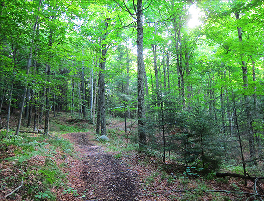 Adirondack Habitats: Mixed forest on the Silvi Trail (25 July 2012)