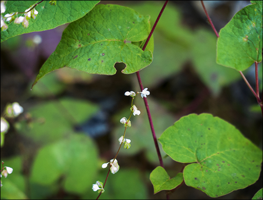 Adirondack Wildflowers: Fringed Bindweed on the Skidder Trail (19 August 2013)