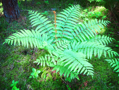 Cinnamon Fern (Osmunda cinnamomea) on the Boreal Life Trail at the Paul Smiths VIC