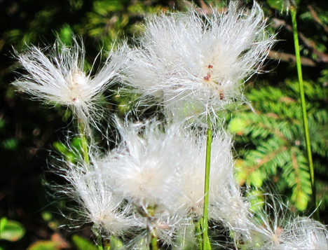 Adirondack Wildflowers:  Cotton Grass on Barnum Bog