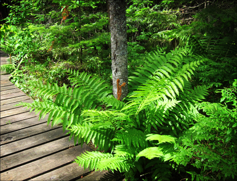 Cinnamon Fern near the Boreal Life Trail boardwalk at the Paul Smiths VIC