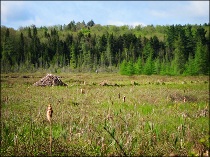Adirondack Wetlands:  Active Beaver Lodge on Heron Marsh at the Paul Smiths VIC