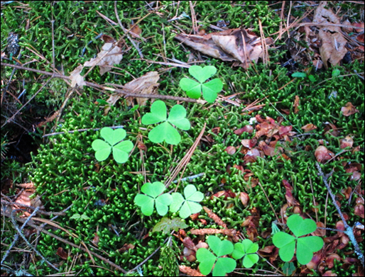 Adirondack Wildflowers: Common Wood Sorrel at the Paul Smiths VIC