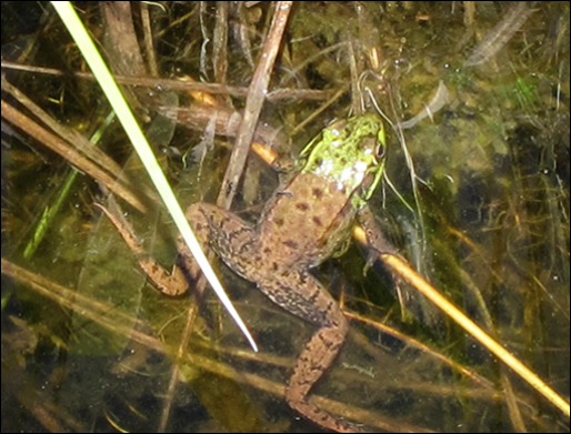 Adirondack Wetlands:  Green Frog in Heron Marsh near the boardwalk at the Paul Smiths VIC