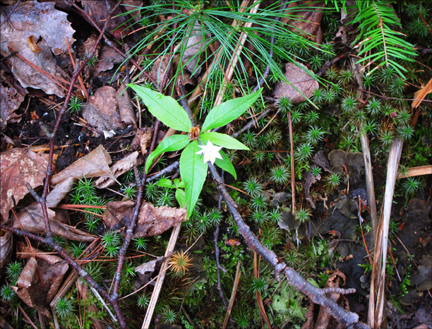 Adirondack Wildflowers:  Starflower (Trientalis borealis) in bloom at the Paul Smiths VIC (23 May 2012)