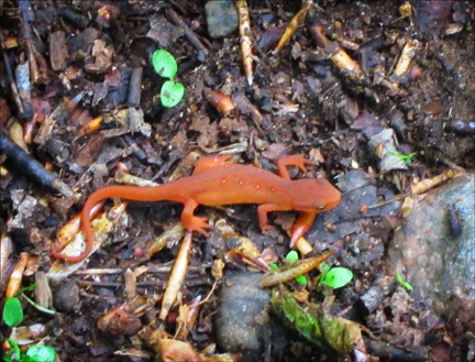Red Eft (Notophthalmus viridescens) on the Jenkins Mountain Trail at the Paul Smiths VIC (23 May 2012)