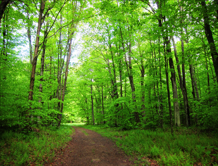 Trees of the Adirondacks:  Hardwoods along the Jenkins Mountain Trail at the Paul Smiths VIC