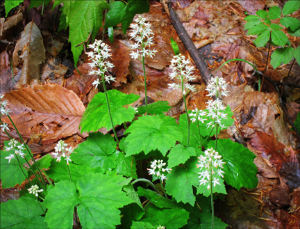 Adirondack Wildflowers:  Foamflower (Tiarella cordifolia) in bloom at the Paul Smiths VIC (23 May 2012)