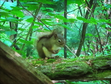 American Red Squirrel on the Boreal Life Trail at the Paul Smiths VIC