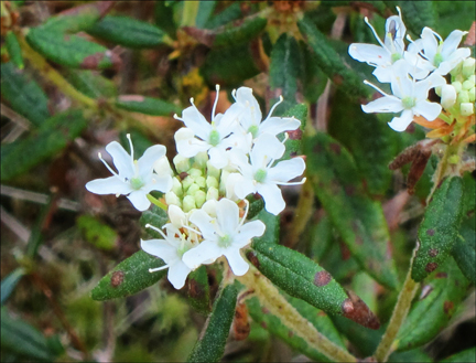 Adirondack Wildflowers:  Labrador Tea on Barnum Bog at the Paul Smiths VIC