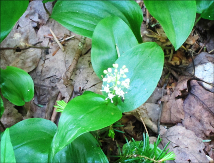 Adirondack Wildflowers:  Canada Mayflower in bloom at the Paul Smiths VIC