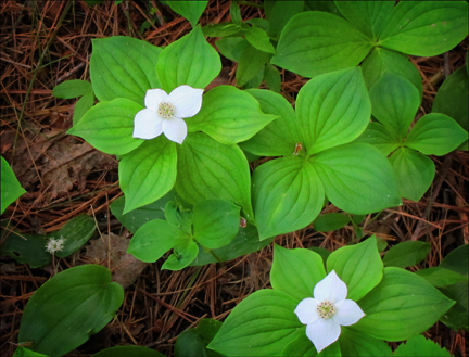 Adirondack Wildflowers:  Bunchberry on the Heron Marsh Trail at the Paul Smiths VIC
