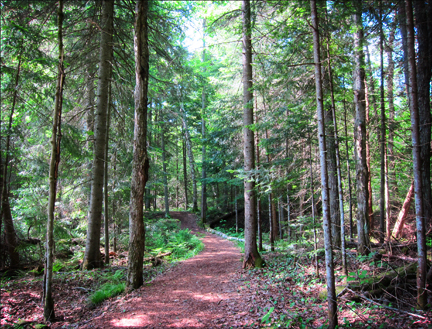 Adirondack Forest Communities: Conifers along the trail at the Paul Smiths VIC