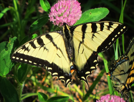 Canadian Tiger Swallowtail near the Paul Smiths VIC parking lot