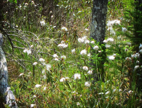 Adirondack Wildflowers:  Cotton Grass on Barnum Bog at the Paul Smiths VIC