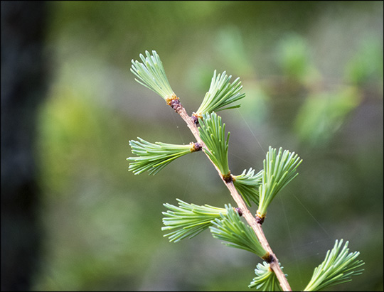 Trees of the Adirondack Mountains: Tamarack on the Jenkins Mountain Trail at the Paul Smiths VIC (17 May 2015)